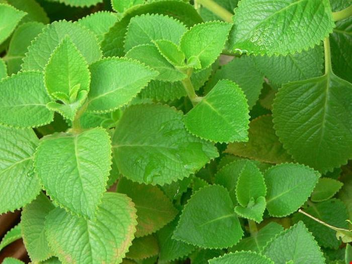 Lá húng chanh thường được sử dụng để điều trị các bệnh về hô hấp.
