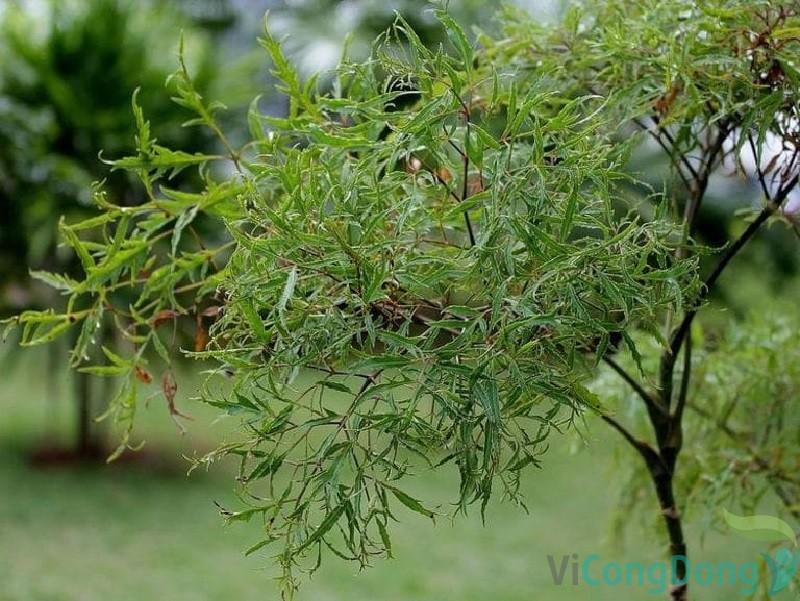 Bài thuốc trị đau lưng mỏi gối bằng cây đinh lăng