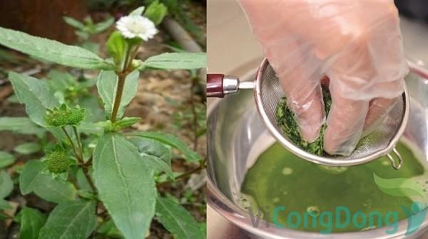 Uống nước cốt cây nhọ nồi chữa đau dạ dày