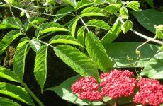 cây gối hạc trị thấp khớp